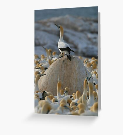 Gannet Kingdom Greeting Card