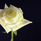 Rose Bloom by glennc70000