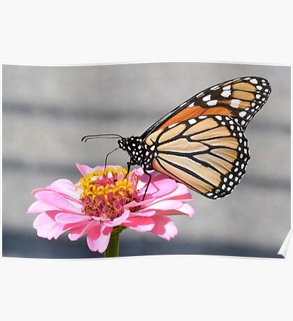Monarch on a zinnia Poster