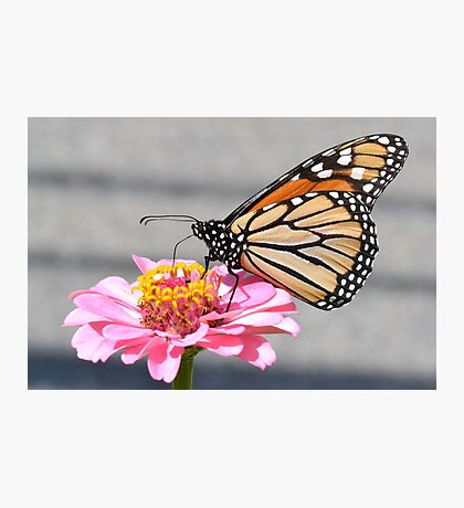 Monarch on a zinnia Photographic Print