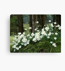 Sheltering daisies. Canvas Print