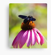 bee on echinacea in the garden Canvas Print