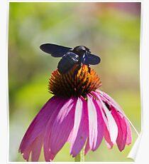bee on echinacea in the garden Poster