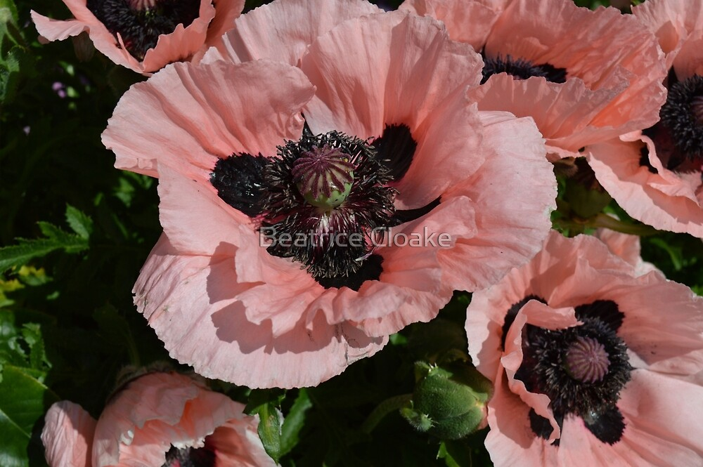 Pink poppies by Beatrice Cloake