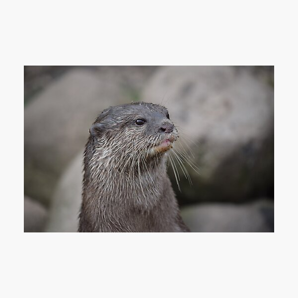 Oriental Small clawed otter. Photographic Print