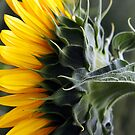 Girasole by jimmylu