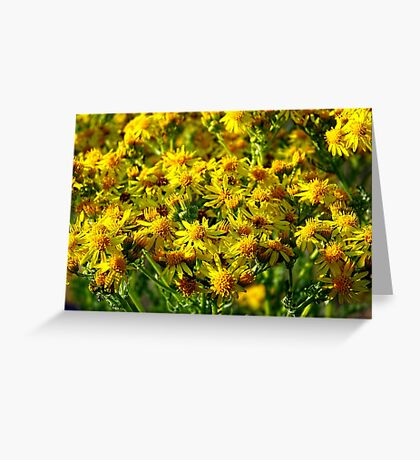 Wild Sunshine (Common Ragwort, Senecioneae Jacobaea) Greeting Card