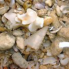 Wentletrap Seashell Eleven by Robert Phillips