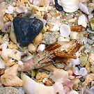 Cone Seashell by Robert Phillips