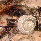 Common Seashell Seven by Robert Phillips