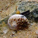 Abalone Shell Eight by Robert Phillips
