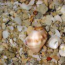 Ordinary Seashell Five by Robert Phillips