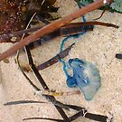 Bluebottle Jellyfish Four by Robert Phillips