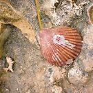 Scallop Seashell six by Robert Phillips