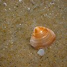 Dog Cockle Seashell Two by Robert Phillips