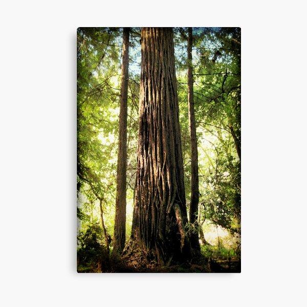 Redwood Family Canvas Print
