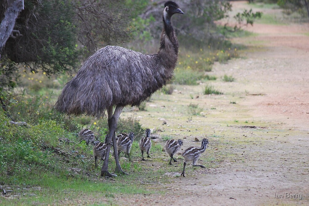 Dad taking the chicks for a walk by Ian Berry