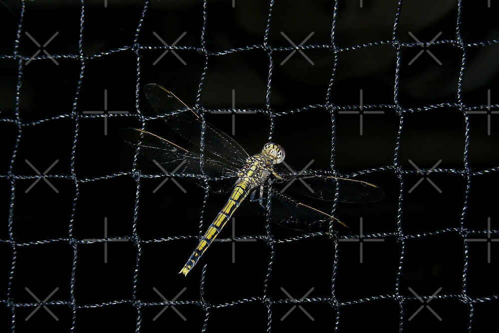 Dragonfly on netting by Sandra Chung