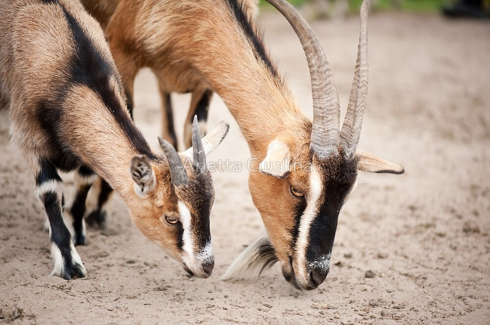Two brown domesticated goats by Arletta Cwalina