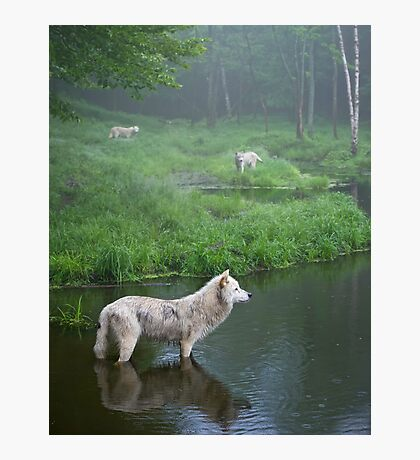 Three weary wolves Photographic Print