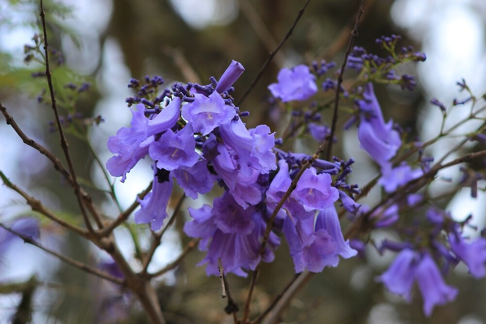 Purple Blossoms on a Tree by rhamm