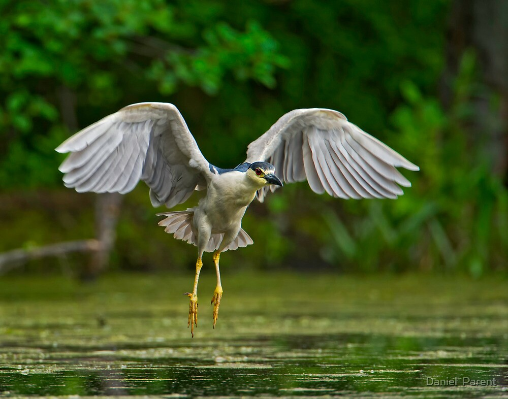 Night Heron flight by Daniel  Parent