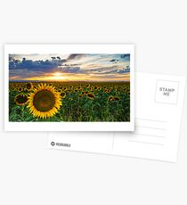 Sunflowers Of Golden Hour Postcards
