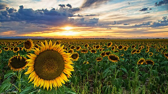 Sunflowers Of Golden Hour by John  De Bord Photography