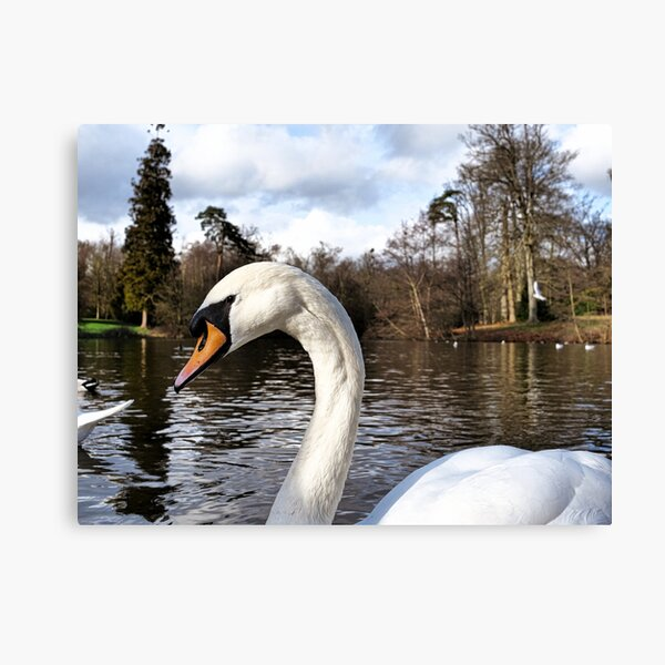 Swan Looking Straight Into My Eyes Canvas Print