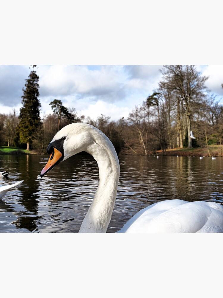 Swan Looking Straight Into My Eyes by santoshputhran