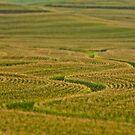 Iowa Corn Field by Tim Wright
