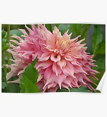 Dazzling Dahlia in Pink... Poster