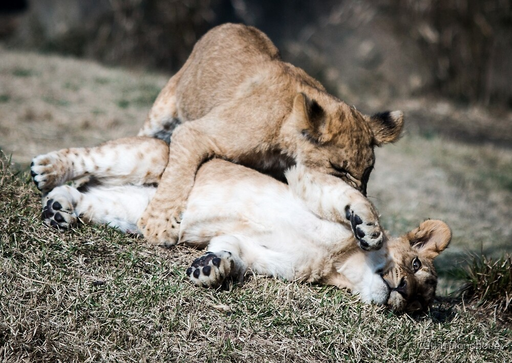 Lion Cubs at Play by Cathy Donohoue