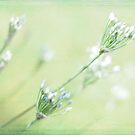 Chive Blossoms by Linda Trine