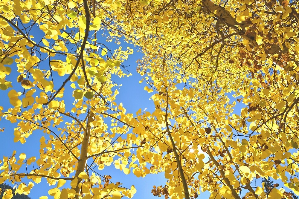 Golden Fall Aspen Trees in Colorado by Amy McDaniel