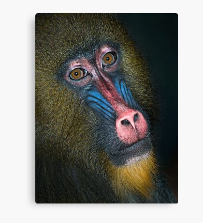 Mandrill's Portrait Canvas Print