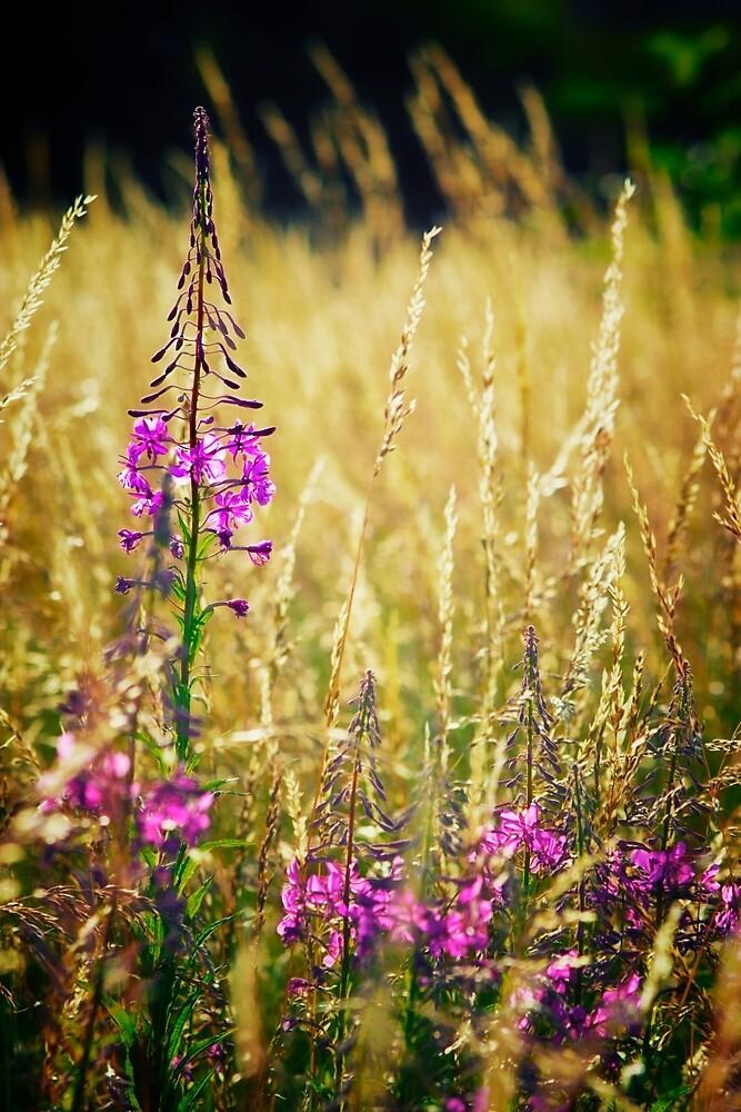 Fireweed Dreams by Vicki Field
