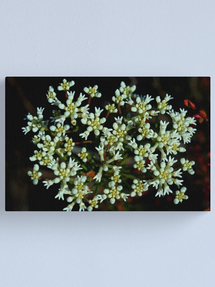 Alternate view of Conospermum taxifolium Canvas Print