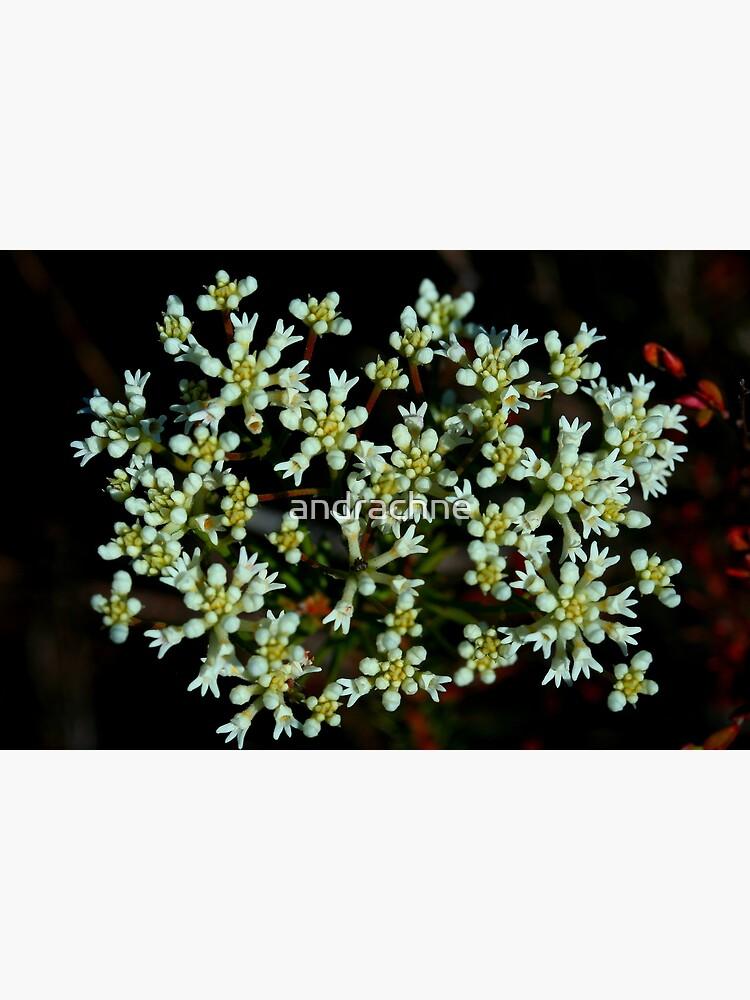 Conospermum taxifolium by andrachne