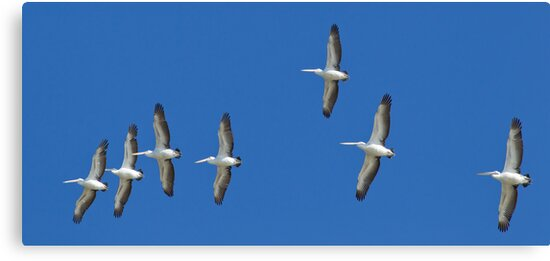 (not quite) Sequential Pelicans by Bill  Robinson
