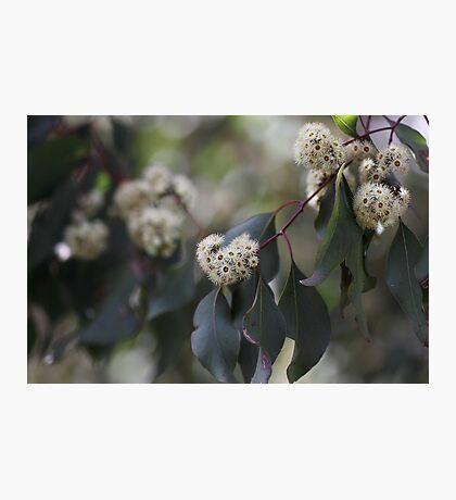 White Eucalyptus Flowers Photographic Print