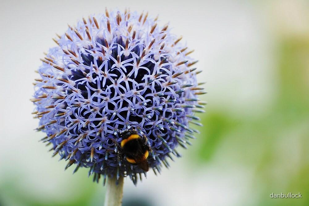 Bumble Bee and Azure Allium by danbullock