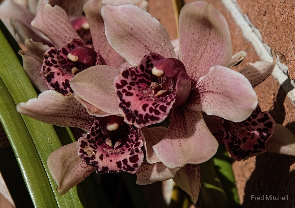 Orchid Leith Park Victoria 20150919 0380   by Fred Mitchell