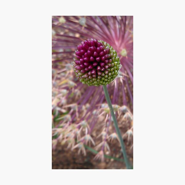 Gone to Seed Photographic Print