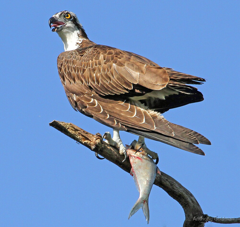 Osprey with catch(Licking my lips in anticipation!) by Anthony Goldman