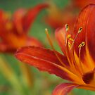 Orange and Yellow Lily by cshphotos