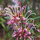 Native Pink Grevillea by Michael John