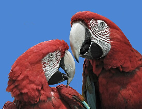 Red Parrots by Rodney Campbell