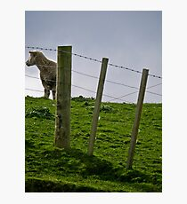 sheepen Photographic Print