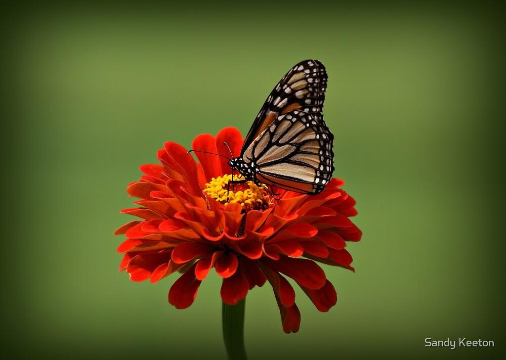 Butterfly on Zinnia by Sandy Keeton